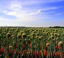 Onion Field by julesdavis