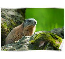 alpine marmot Poster