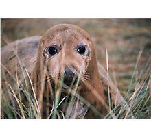 Peeping seal Photographic Print