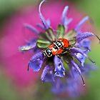 Ladybug Love by DavidBerry