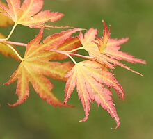 Japanese Acer by button-moon