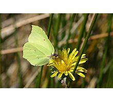 Brimstone Butterfly on Dandelion Photographic Print
