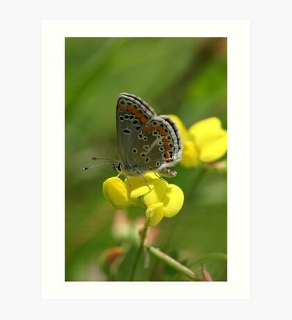 Brown Argus Butterfly on Birdsfoot Trefoil Flowers Art Print