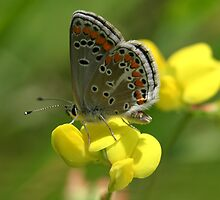 Brown Argus Butterfly on Birdsfoot Trefoil Flowers by Michael Field