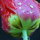 Weeping tulip by loiteke