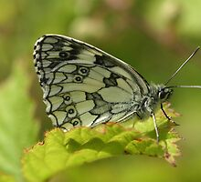 Marbled White Butterfly by Michael Field