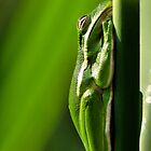American Green Tree Frog by Dennis Stewart