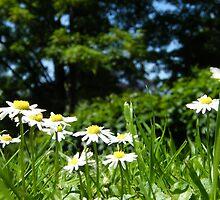 daisy daisy by sticky