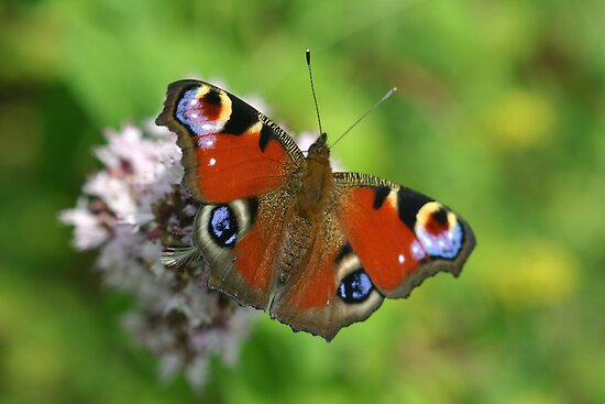 Peacock Butterfly on Marjoram Flowers by Michael Field