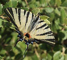 Scarce Swallowtail by Michael Field