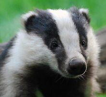 Badger. by widge