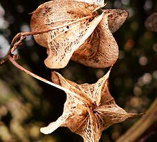 Seed capes. by Lynne Haselden