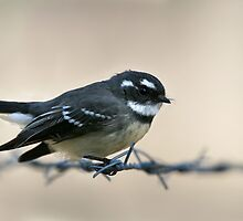 Grey Fantail by adamisalive