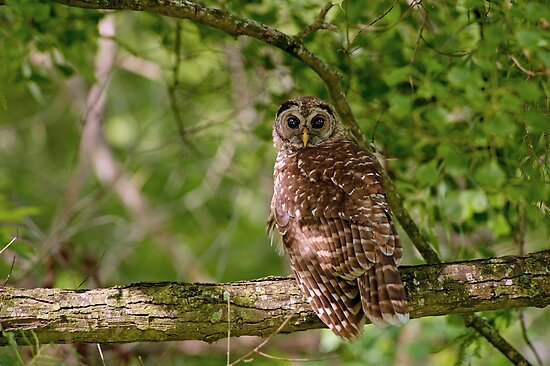 Barred Owl at Lake Martin  by Bonnie T.  Barry