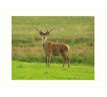 Deer in Killarney Art Print