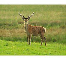 Deer in Killarney Photographic Print