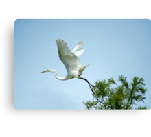 Egret at Take-Off  Canvas Print