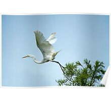 Egret at Take-Off  Poster
