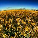 Rapeseed Field by Nigel Bangert