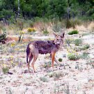 West Texas Coyote Searching For Food  by R&PChristianDesign &Photography