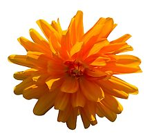 Orange Dahlia  by Deborah McGrath