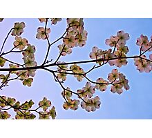 Dogwoods and Sky Photographic Print