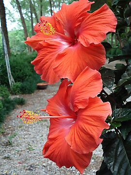Hibiscus by May Lattanzio