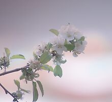 Pretty Nectarine Blossoms by Deborah McGrath