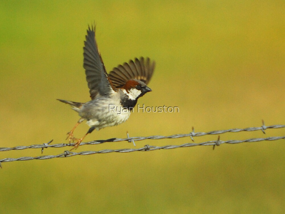House Sparrow Take-Off by Ryan Houston