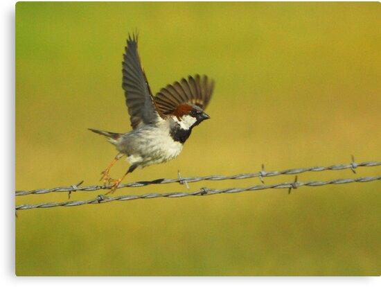House Sparrow Take-Off by Ryan Houston