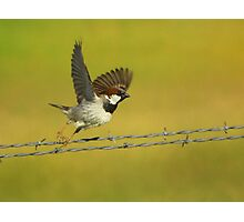 House Sparrow Take-Off Photographic Print