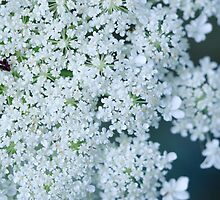 Faded Queen Ann's Lace by awanderingsoul