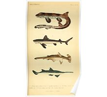 The Animal Kingdom by Georges Cuvier, PA Latreille, and Henry McMurtrie 1834  191 - Pisces Fish Poster