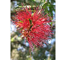 Bottlebrush With Dew Drops. Photographic Print