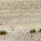 Wildlife in New Mexico - PRONGHORN ANTELOPE by janetmarston