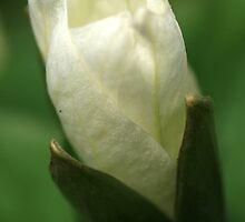 Trillium Bud by Chris Coates