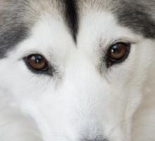 Fluffy Siberian Husky Sticker