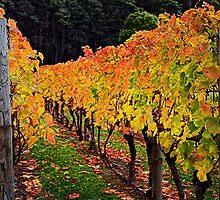 Autumn Vineyard by Peter Daalder