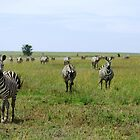 Four Zebra by Kyle Jerichow