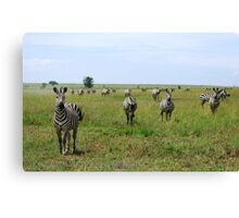 Four Zebra Canvas Print