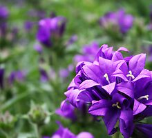 Clustered Bellflower by Alison Simpson