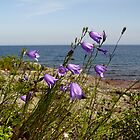 Harebells - Campanula rotundifolia by Karen Karl