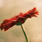 Gerbera.. again :P by Victor Oliveira