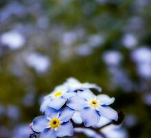 Forget-Me-Knots (bokeh) by Aaron Campbell