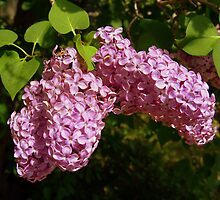 Heavenly Lilacs by BarbL