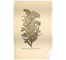 Harper's Guide to Wild Flowers 1912 Creevey, Caroline and Stickney, Alathea 071 Beach Goldenrod Poster