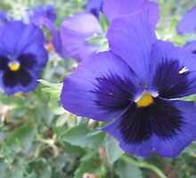 Pansy by MariaSG