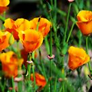 Mexican Poppies by Barbara Manis