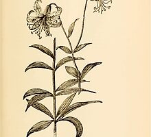 Harper's Guide to Wild Flowers 1912 Creevey, Caroline and Stickney, Alathea 049 Turk's Cap Lilly by wetdryvac