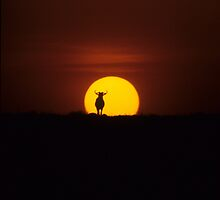 Wildebeest Sunset by David Clarke